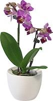 Orchidee in vaso di ceramica